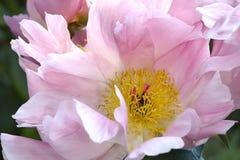 Pink peony bud Royalty Free Stock Photos