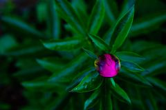 Beautiful pink peony bud on a dark background royalty free stock photo