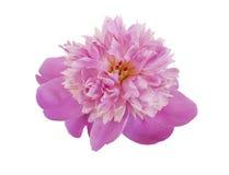 Pink peony bud Royalty Free Stock Image