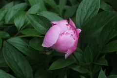 Pink peony bud stock images