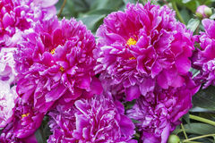 Pink Peony Bush Royalty Free Stock Photo