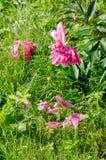 Pink peony bush and petal on green meadow garden Stock Photos
