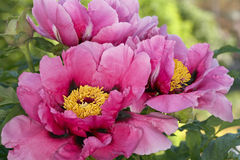 Pink peony bush Royalty Free Stock Images