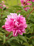 Pink peony with button Stock Images