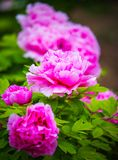 Pink peony , chinese national flower. Peony is national flower of China, symbols of wealth and prosperity stock image