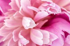 Pink peony close-up Stock Photo