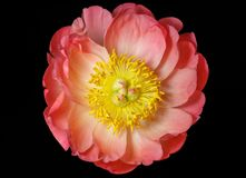 Pink peony close up isolated on black background, top view. Beautiful delicate peony with pink petals and yellow middle stock image