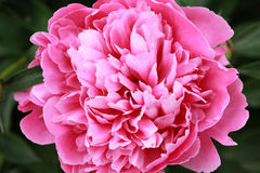 Pink peony close up Stock Images