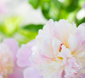 Pink peony close-up. Stock Photos