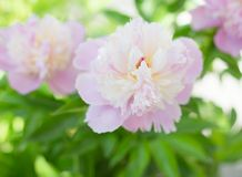 Pink peony close-up. Royalty Free Stock Photography