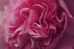 Pink Peony Close-up Royalty Free Stock Photo