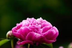 Pink Peony Closeup royalty free stock images