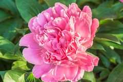 Pink peony closeup. Among green leaves Royalty Free Stock Image