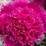 Pink peony closeup, macro flower texture, colorful pattern. Pink peony closeup, macro flower texture, colourful pattern royalty free stock images