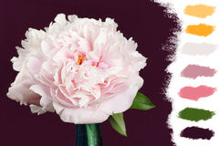 Pink peony color palette Royalty Free Stock Photography
