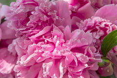 Pink peony with drops of water Stock Photos