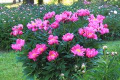 Pink Peony Field Stock Photo