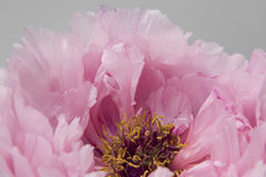 Pink Peony Royalty Free Stock Images