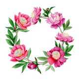 Pink peony. Floral botanical flower. Wild summer leaf wildflower frame. Aquarelle wildflower for background, texture, wrapper pattern, frame or border stock illustration