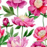 Pink peony. Floral botanical flower. Wild summer leaf wildflower pattern. Aquarelle wildflower for background, texture, wrapper pattern, frame or border stock illustration