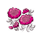 Pink peony floral sketch. spring flower Stock Image