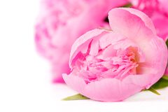 Pink peony flower Stock Photography