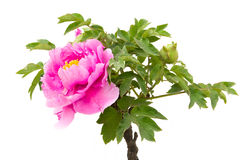 Pink peony flower. (Paeonia suffruticosa, tree peony, mudan flower) and white background. Peony flower is ornamental plant native to China and is an important Stock Photos