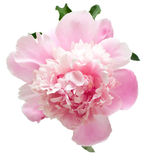 Pink peony flower Royalty Free Stock Photos