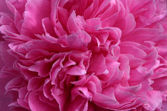 Pink peony flower. Abstract background Stock Photography
