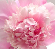 Pink peony flower background Royalty Free Stock Image