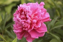 Pink peony flower Stock Photos