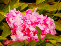 Pink Peony flower blooming royalty free stock photography