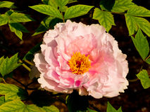Pink Peony flower blooming royalty free stock images