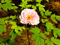 Pink Peony flower blooming royalty free stock image