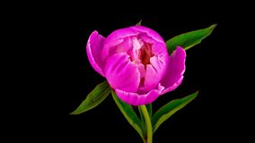 Pink peony flower blooming stock footage