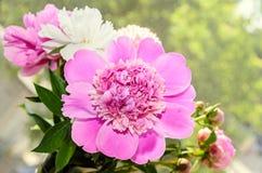 Pink peony flower with bud, bokeh blur background, genus Paeonia Royalty Free Stock Photos