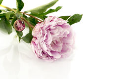 Pink peony with flower bud Royalty Free Stock Image
