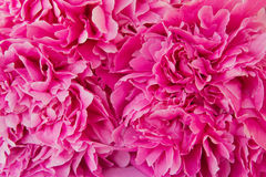 Pink peony flower Royalty Free Stock Photo