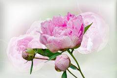 Pink Peony flower closeup . Royalty Free Stock Photography