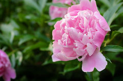 Pink peony flower in countryside garden with a blurred background. Royalty Free Stock Photo