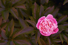Pink peony flower on dark leaves background royalty free stock photos
