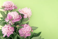 Pink peony flower on green background with copy space for greeti Stock Photo