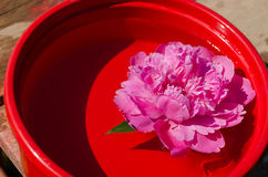 Pink peony flower immersed in red clay bowl Stock Photos