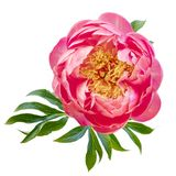 Pink Peony Flower Isolated Top View. Pink peony flower isolated on white. Top view royalty free stock photos