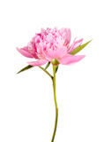 Pink peony flower Stock Photo