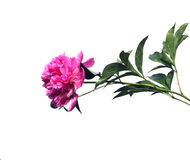 Pink peony flower isolated Royalty Free Stock Image