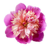 Pink peony flower isolated Royalty Free Stock Photos