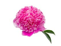 Pink peony flower  isolated on white background Royalty Free Stock Image