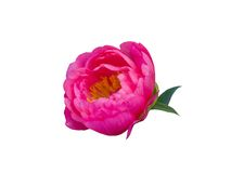 Pink peony flower  isolated on white background Royalty Free Stock Photography