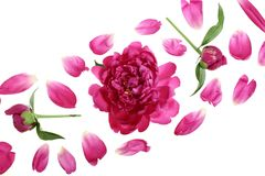 Pink peony flower isolated on white background with copy space for your text. Top view. Flat lay pattern Stock Photos